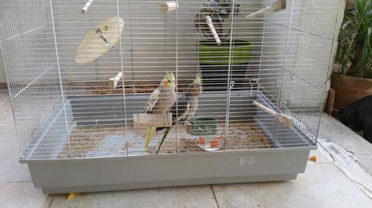 cage calopsitte
