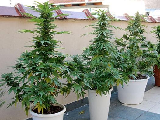 cannabis automatique exterieur