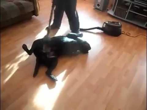 chien aspirateur