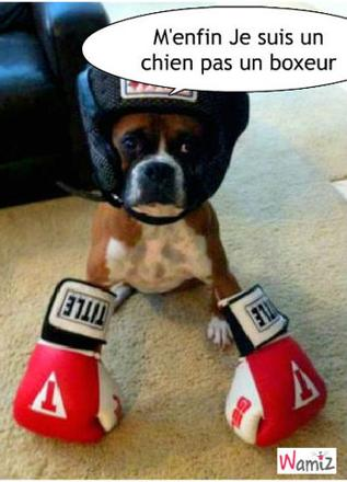 chien boxer rigolo