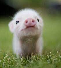 cochon cute