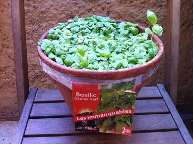 comment planter du basilic en pot