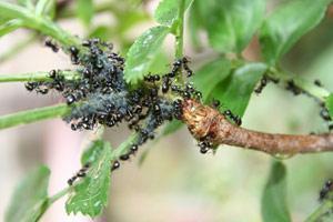 faire fuir des fourmis