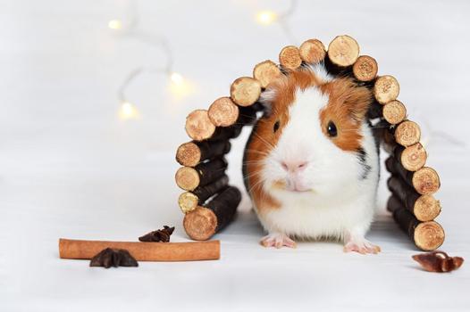 jouet cochon d'inde