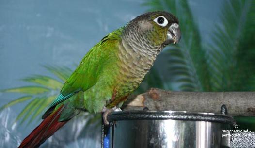 perroquet petite taille