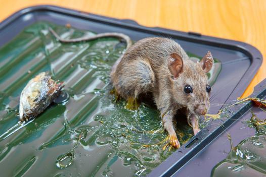 piege a rats quel appat