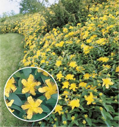 plante millepertuis