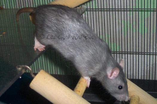 rats en anglais