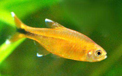 tetra poisson aquarium